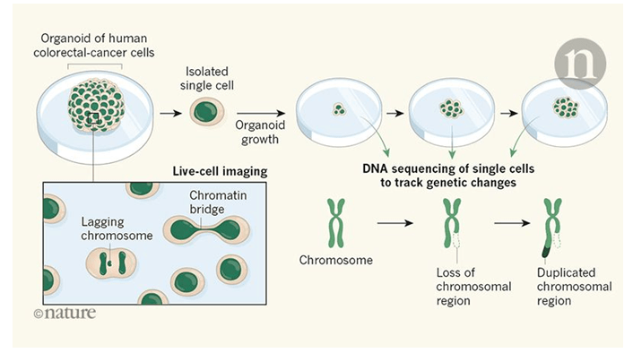 Tracking chromosomal changes in human colorectal cancer.