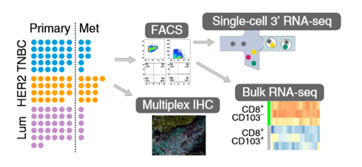 Workflow of both single-cell and bulk RNA-seq of human isolated T cells.